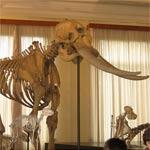 museo civico di zoologia scheletri