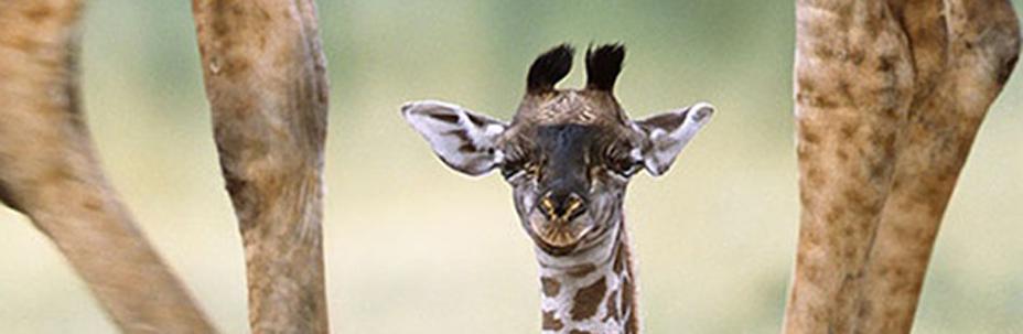 domenica giraffe bioparco