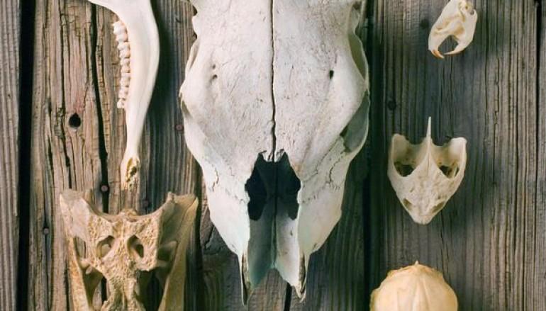 Skulls – crani di tutte le specie la mostra per grandi e bambini al Parco dell'Appia