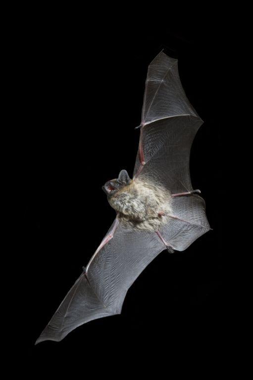 Pipistrello di Savi Hypsugo savii TARANTO