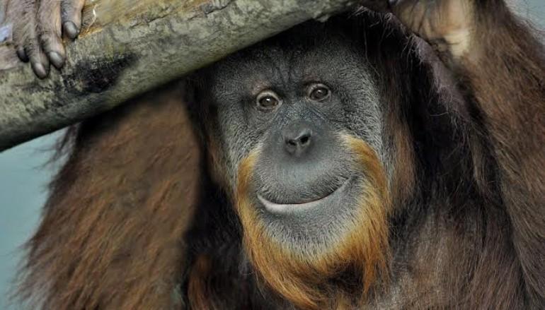 Al Bioparco per conoscere la nuova casa degli oranghi Petronilla, Martina e Zoe