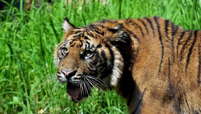 Nuova area delle tigri di Sumatra al Bioparco di Roma