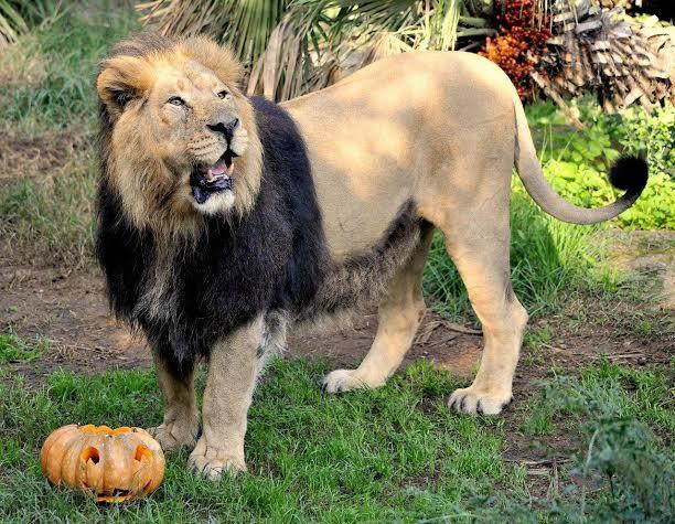 leone-zucca-di-halloween