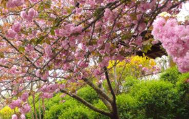 Hanami all'Orto Botanico, celebriamo la bellezza dei ciliegi in fiore