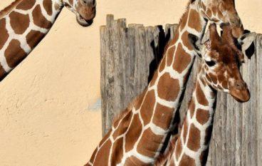 Sua altezza la giraffa! Laboratori dai 3 ai 12 anni al Bioparco